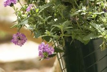 Remove dead foliage and flowers to keep hanging verbena healthy.