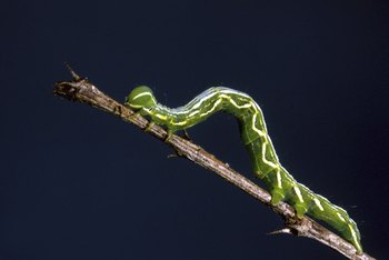 Caterpillars are just one of many pest problems of the Lombardy poplar.