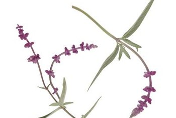Mexican sage flowers attract hummingbirds and butterflies.