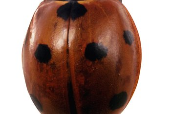 A ladybug is also called a ladybird beetle.