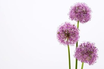 Allium's showy globe flowers make attention-grabbing garden additions.