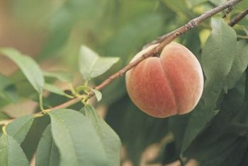 Peach trees grow in USDA zones 5 through 9.