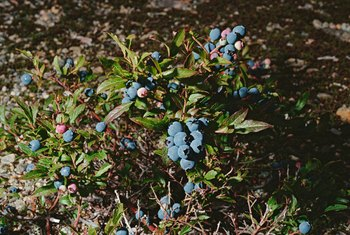 Blueberry bushes crave acidic, low pH soil.