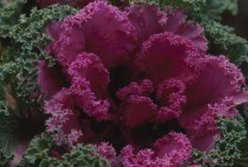 Ornamental kale blooms may grow to 15 inches in diameter.