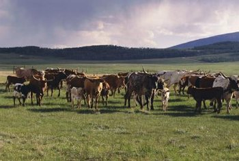 Home on the range, where cattle are the name of the game.