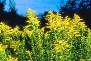 Goldenrod is a showy bloomer in late summer or early fall.
