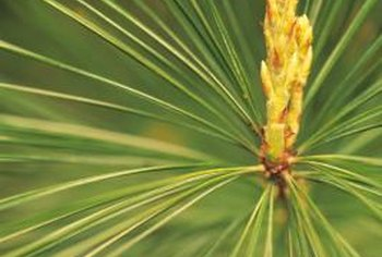 Pine needles produce a dry, brown straw when they fall from the tree.