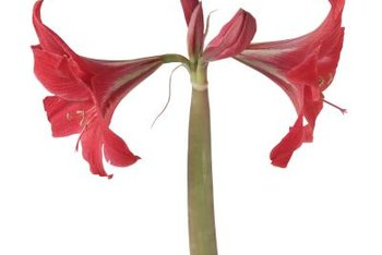 Amaryllis can produce single- and double-petaled flowers when healthy.