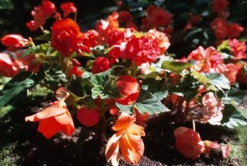 Begonia blooms brighten shaded garden beds.
