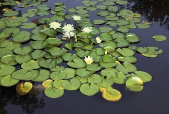 Water lilies are an attractive and hardy addition to ponds. They also help keep the pond oxygenated for fish.