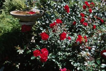 Knock Out rose is simple to grow in a wooden barrel.