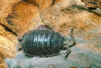 Isopods are distant relatives of lobsters and even have gills.