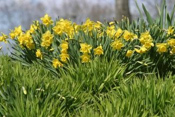 Division prevents daffodils from becoming messy and overcrowded.