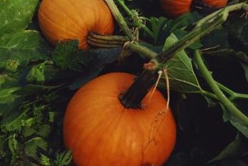 Pumpkins prefer fertile, warm soils kept consistently moist.