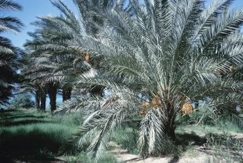 Also known as the pygmy date palm, Roebellinis are cold hardy to USDA zones 9 through 11.