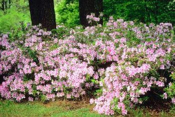 Azaleas create a dramatic hedge.