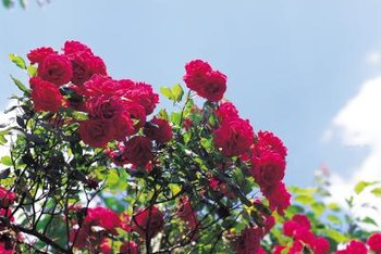 Rugosa roses withstand disease and extreme temperatures.