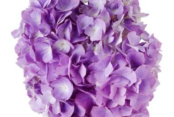 This is why people love hydrangeas!