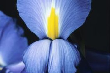 To grow beautiful iris flowers and not weeds, you may need an herbicide.