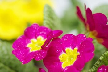 Low-growing primulas work well along flower-bed borders.