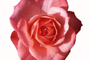 The Gemini rose is a common choice for cutting gardens.