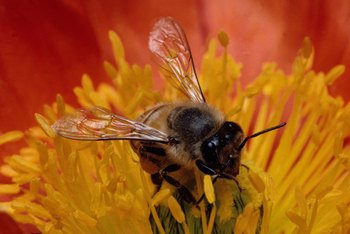 Bees are one example of a pollinator. The pollen attaches to the legs of the bees and is carried from the male to the female flowers.