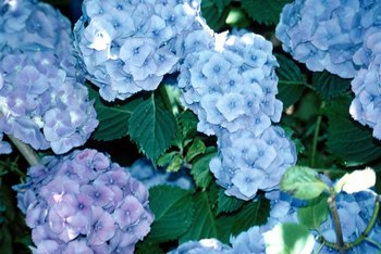 Big leaf hydrangeas turn blue or pink depending on soil pH.