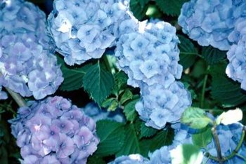 Hydrangeas have blue flowers in acidic soil.