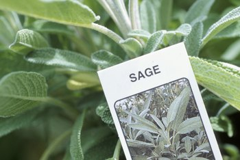 Even common sage produces attractive purple flower spikes in spring.