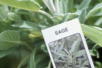 Sage is a versatile culinary herb.