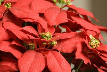 Poinsettia propagate quickly and easily from cuttings.