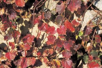 The green foliage of some clematis vines turns red to add pizazz to your autumn landscape.