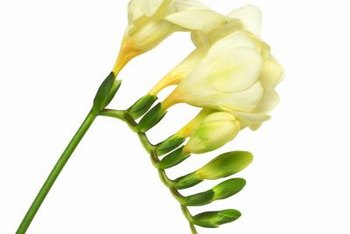 Freesia flowers are typically white or yellow but may be lavender.