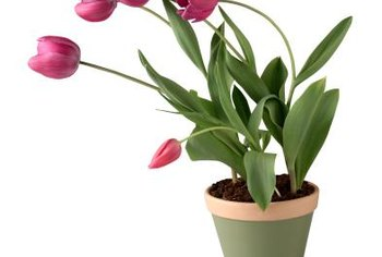Force tulips to provide bright spring color indoors during the winter months.