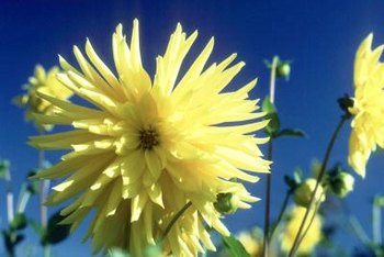 When breeding, yellow and ivory colors tend to dominate over white flower coloring.