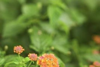 Lantana brings a colorful tropical touch to both southern and northern gardens.