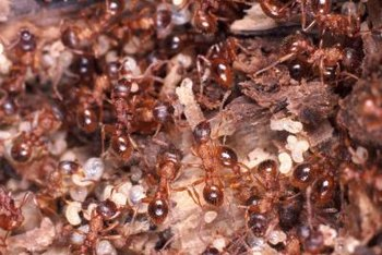 Worker ants bringing poisoned bait home can wipe out an entire colony.