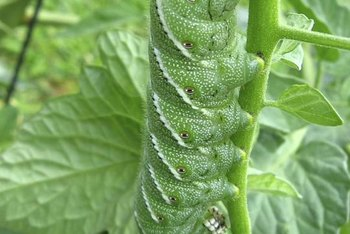 Camouflage makes tomato hornworms very difficult to spot.