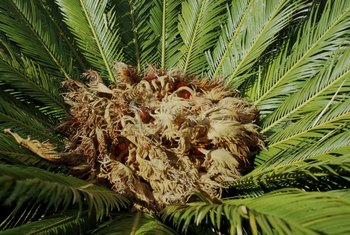 The sago palm produces most of its new leaves in spring and summer.