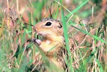 Gophers are rarely seen above ground, but can create holes in the yard.