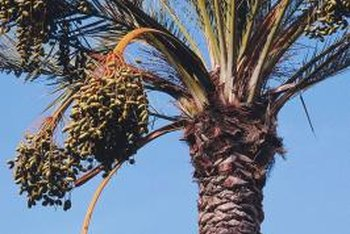 Dates are green when immature and later ripen to reddish-brown.