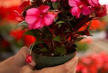 Spotting from insects or diseases disfigures New Guinea impatiens' vibrant colors.