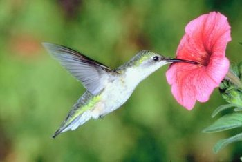 Hummingbirds are one of the smallest species of birds.