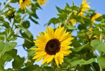 Stiff sunflowers turn with the sun during bloom season, July through September.