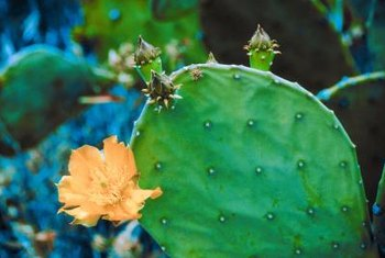 Prickly pear cactus are the target of cactus moths and their larva, cactus borers.