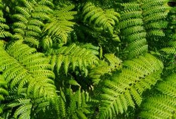 Ferns can add magnificent texture to your shady location.