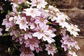 Clematis vines are known for their vining habit and abundant flowers.