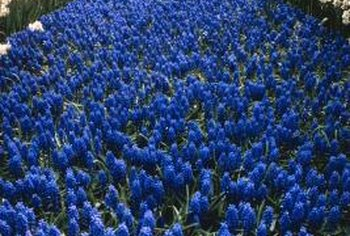 Hyacinths become overcrowded if not regularly separated.