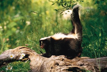 Striped skunks are the most common variety of skunks.