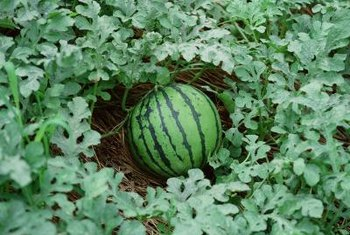 Most of a watermelon's heavy weight is due to its high water content.